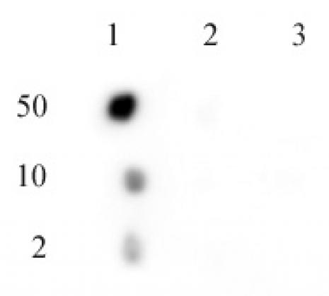 C17orf96 phospho Ser15 antibody (pAb) tested by dot blot analysis.