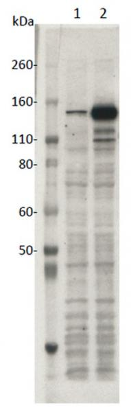 SaCas9 mAb (Clone 11E7) tested by Western blot.
