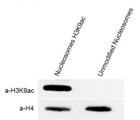 Western Blot analysis for Recombinant Mononucleosomes H3K9ac (EPL) - biotin.