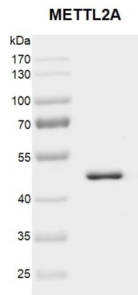 Recombinant METTL2A protein gel.