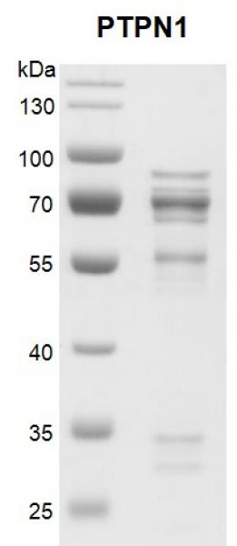 Recombinant PTPN1 protein gel
