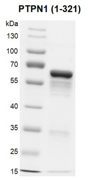 Recombinant PTPN1 (1-321) protein gel.