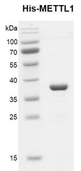 Recombinant METTL1, His-Tag, protein gel.