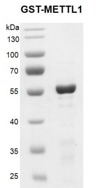 Recombinant METTL1, GST-Tag, protein gel
