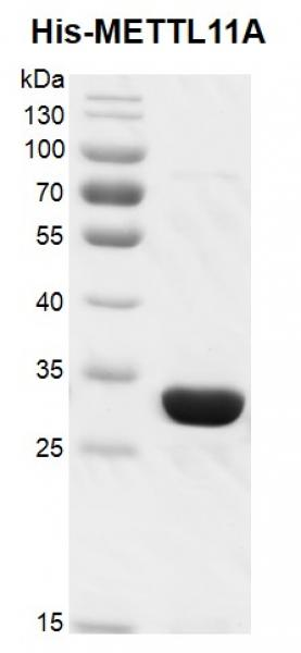 Recombinant METTL11A / NTMT1, His-tag , protein gel