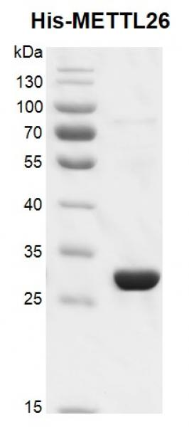 Recombinant METTL26, His-Tag, protein gel