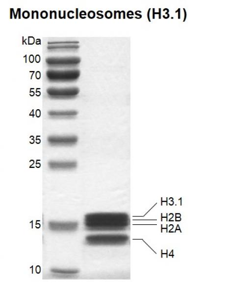 Recombinant Mononucleosomes (H3.1) SDS-PAGE gel