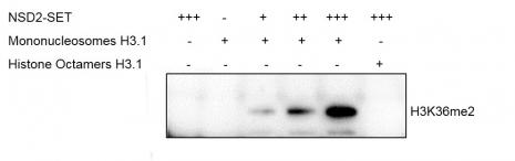 Western Blot for activity detection of Mononucleosomes (H3.1)