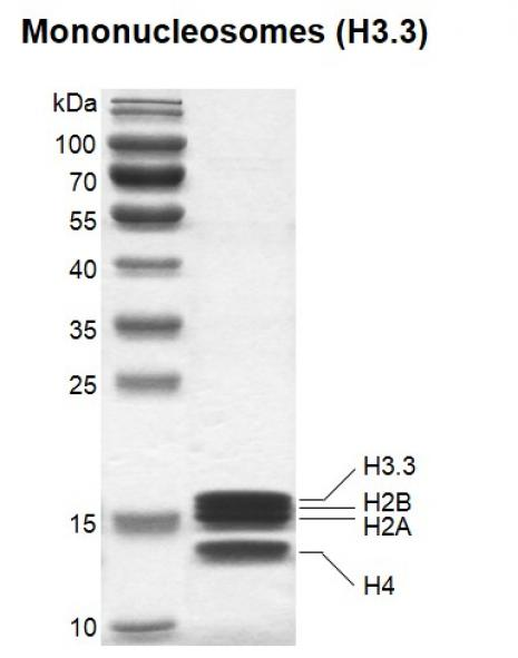 Recombinant Mononucleosomes (H3.3) SDS-PAGE gel