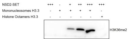 Western Blot for activity detection of Mononucleosomes (H3.3)