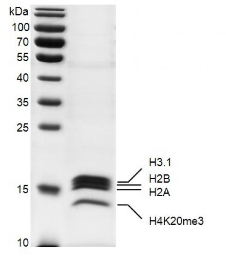 Recombinant Mononucleosomes H4K20me3 (MLA) SDS-PAGE