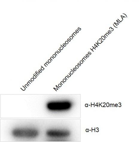 Western Blot analysis for Recombinant Mono-nucleosomes H4K20me3 (MLA)