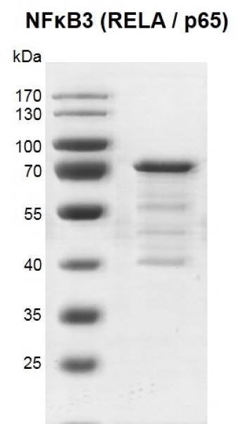 Recombinant NFKB3 (RELA / p65) protein gel