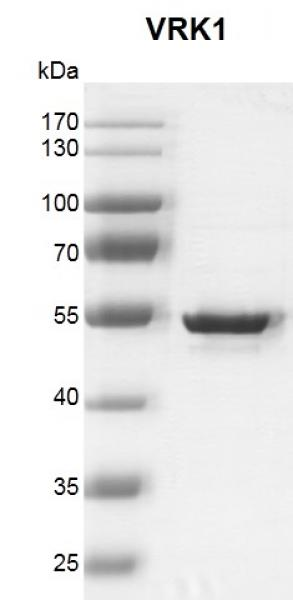 Recombinant VRK1 protein gel
