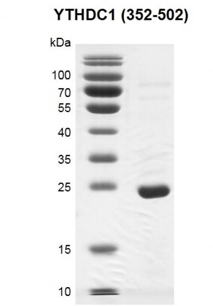 Recombinant YTHDC1 (325-502) SDS PAGE gel