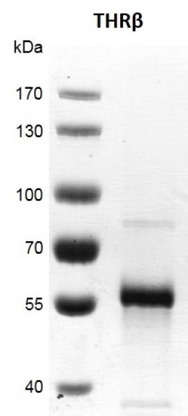 Recombinant THRβ protein gel