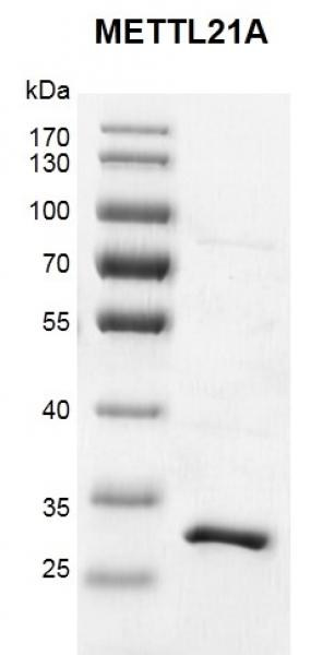 Recombinant METTL21A protein gel