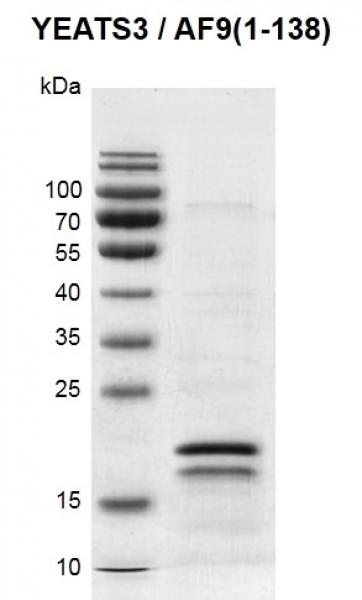 Recombinant MLLT3 / AF9 (1-138) protein gel