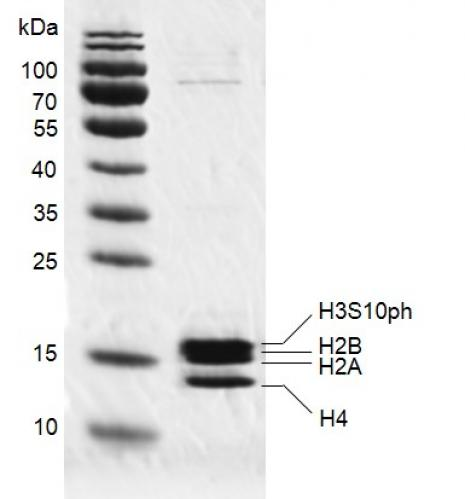 Recombinant Mononucleosomes H3S10ph (EPL) SDS PAGE gel