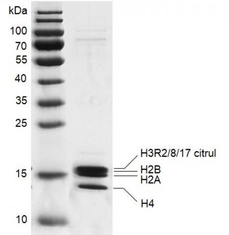 Recombinant Mononucleosomes H3R2/8/17 citrul (EPL) - biotin, SDS PAGE gel