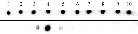 AbFlex<sup>®</sup> Histone H3K27me3 antibody (rAb) tested by dot blot analysis.