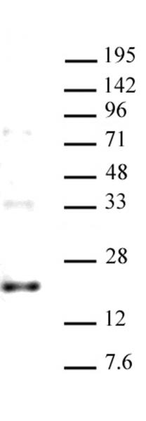 AbFlex<sup>®</sup> Histone H3.3 (rAb) tested by Western Blot.