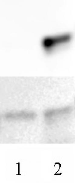 AbFlex<sup>®</sup> Histone H3.3 antibody (rAb) tested by Western blot.