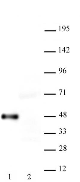 AbFlex<sup>®</sup> Myc-Tag antibody (rAb) tested by Western blot.