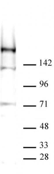 Specificity of AbFlex® KDM5A demonstrated by Western blot.