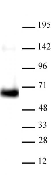 AbFlex<sup>®</sup> HDAC1 antibody (rAb) tested by Western blot.
