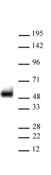 AbFlex<sup>®</sup> p53 antibody (rAb) tested by Western blot.