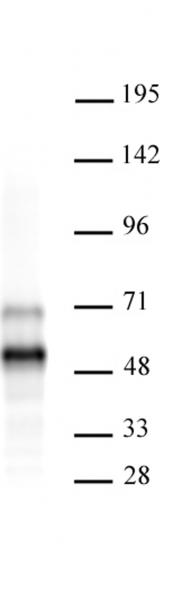 AbFlex<sup>®</sup> MEIS 1/2/3 antibody (rAb)  tested by Western blot.