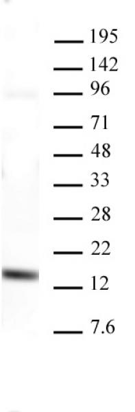 AbFlex<sup>®</sup> Histone H3K4me3 antibody (rAb) tested by Western blot.