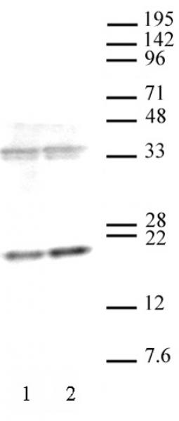 AbFlex<sup>®</sup> Histone H3K36me3 antibody (rAb) tested by Western blot.