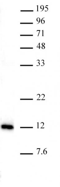 AbFlex<sup>®</sup> Histone H4K20me1 antibody tested by Western blot.